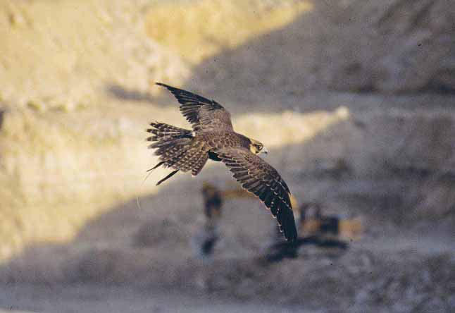Falcons represent a real threat to birds and willnot be ignored. Their use close to aircraftrequires great care, skill and considerable expense